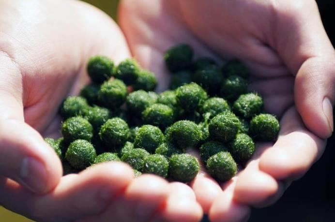 moss-balls-for-fish-food