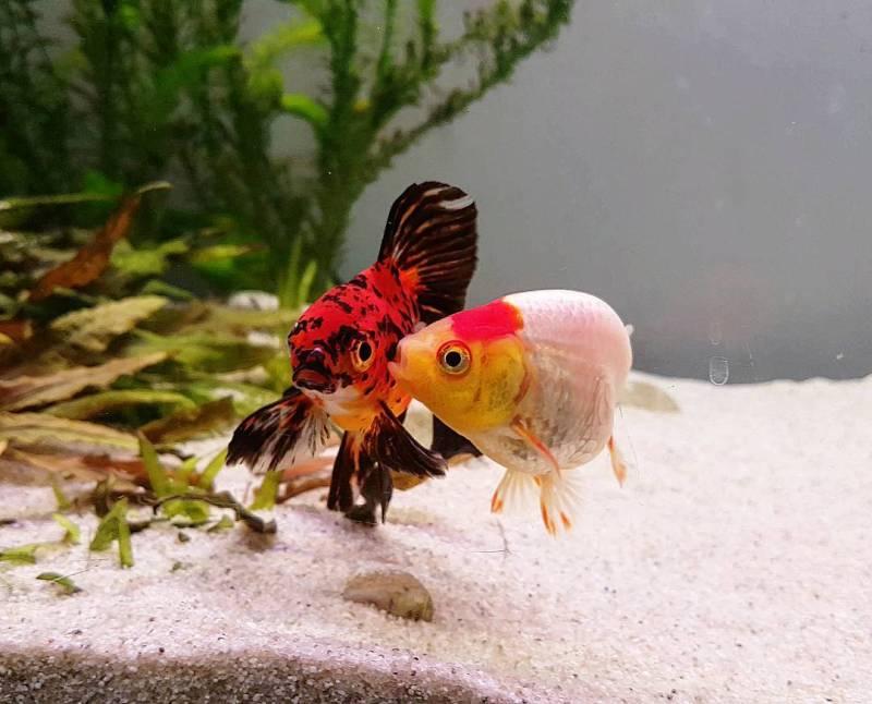 do goldfish need air pumps