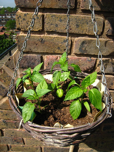 chillis-in-a-basket
