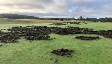 Vildsvin har orsakat omfattande skador på Mälarö Golfklubb