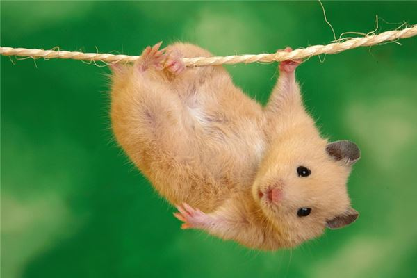孕婦夢見老鼠_周公解夢 孕婦夢見老鼠是什麼意思_孕婦夢見老鼠好不好_周公解夢官網_周公解夢大全