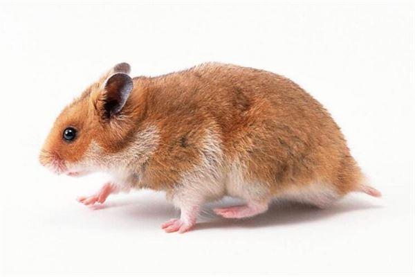 夢見老鼠是什麼意思_周公解夢_周公解夢大全