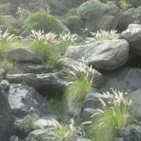 Sí se puede alerta de la expansión que muestra el rabo de gato en La Gomera