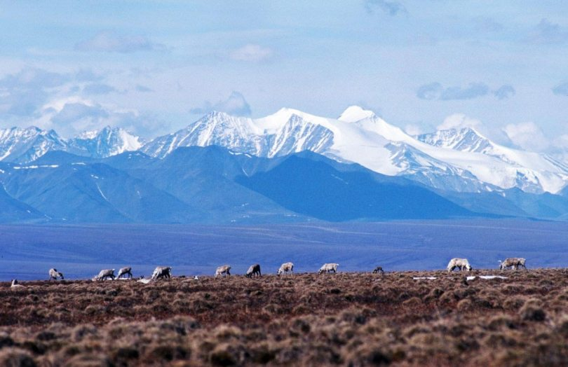 Caribou grazing in front of Brooks Mountain Range in the Summer.