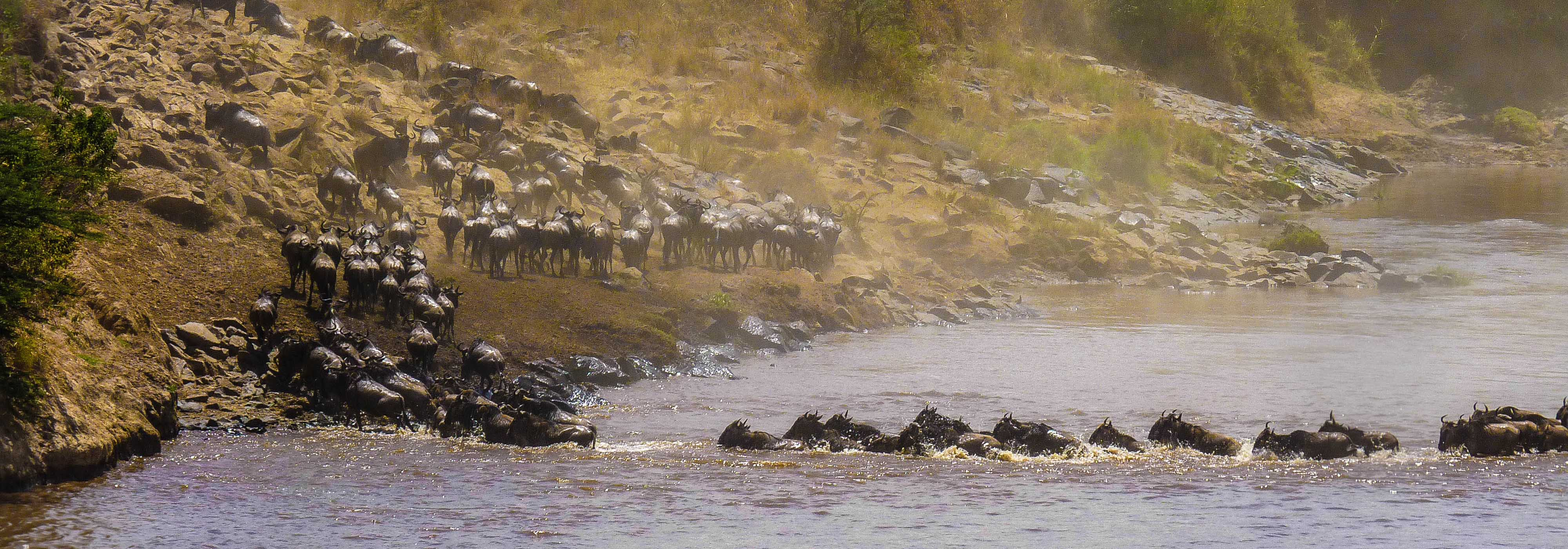 Wildebeest crossing the river