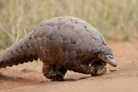 The ground pangolin, almost in the little big five