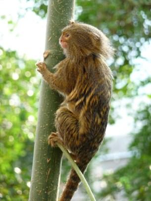 Pygmy Marmosets