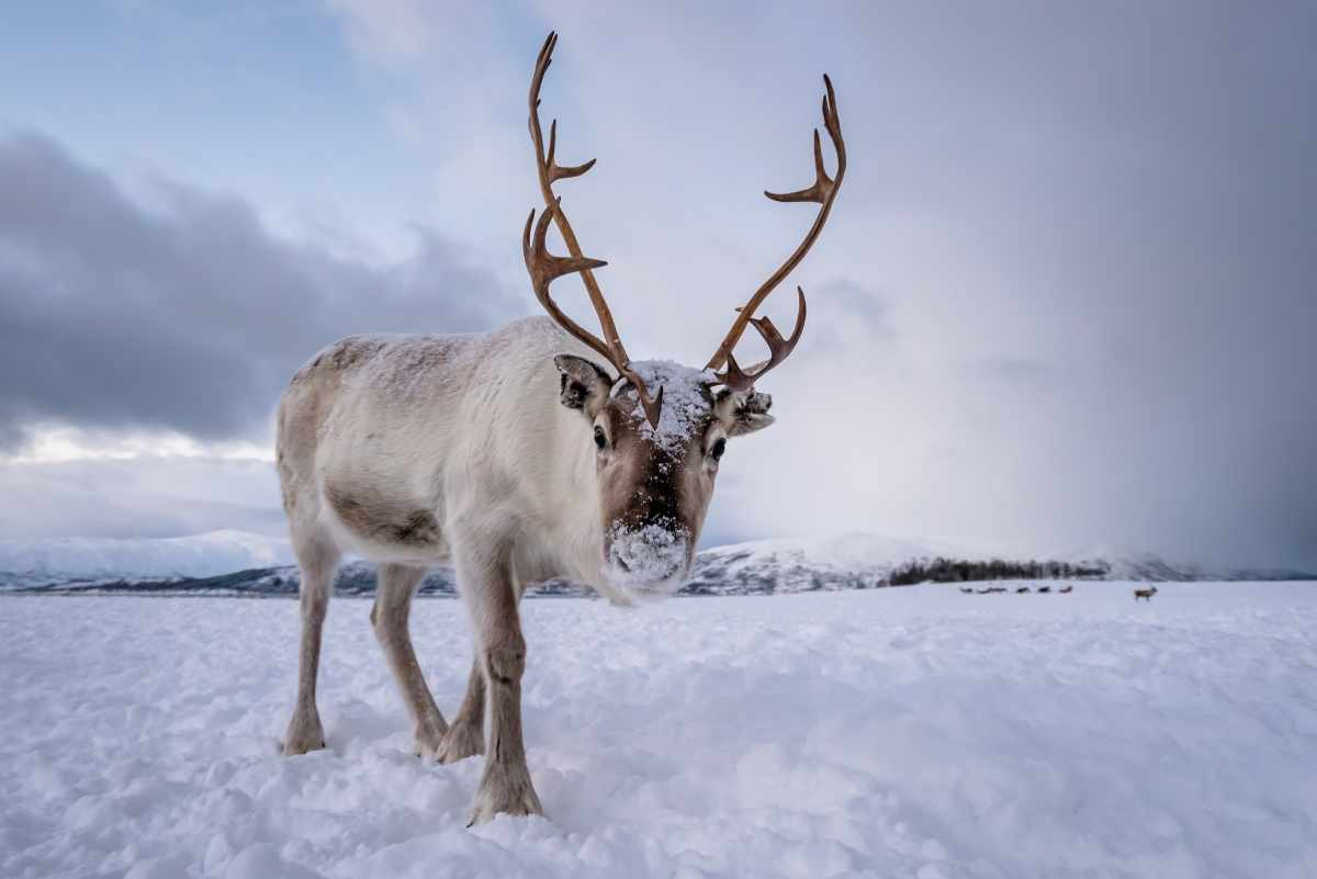 Alaskan Reindeer from Northern Lights Adventure Tour