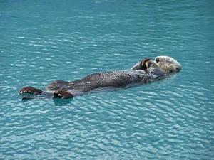 Resting Sea Otter in the Kenai Fjords of Alaska
