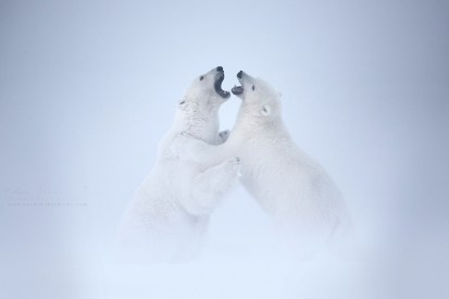 Two male polar bears fighting