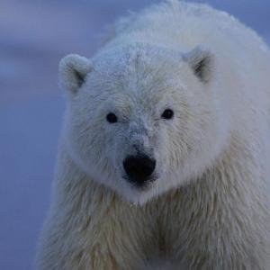 Polar bear covered in snow, staring at the camera