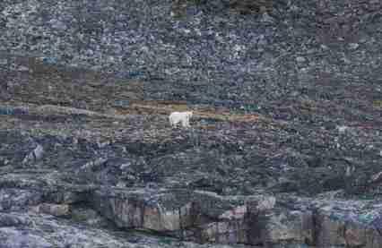 Solitary Polar Bear