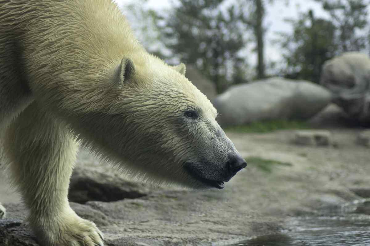 Close up of a polar bear in Alaska on Gondwana's Polar Bear Adventure tour.