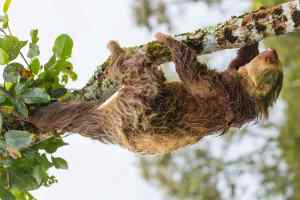 Picture of a sloth in the Amazon Rainforest