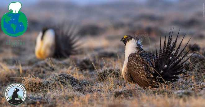 Photo of a greater sage grouse in celebration of Endangered Species Day!