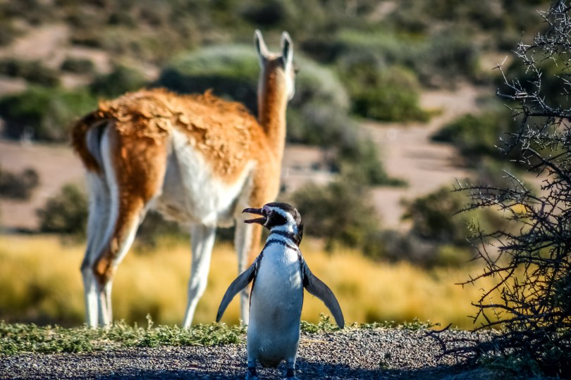 Magellanic penguin and guanaco in Punta Tombo Natural Reserve Argentina