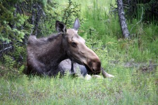 A picture of a moose in the boreal forest of Homer, Alaska.