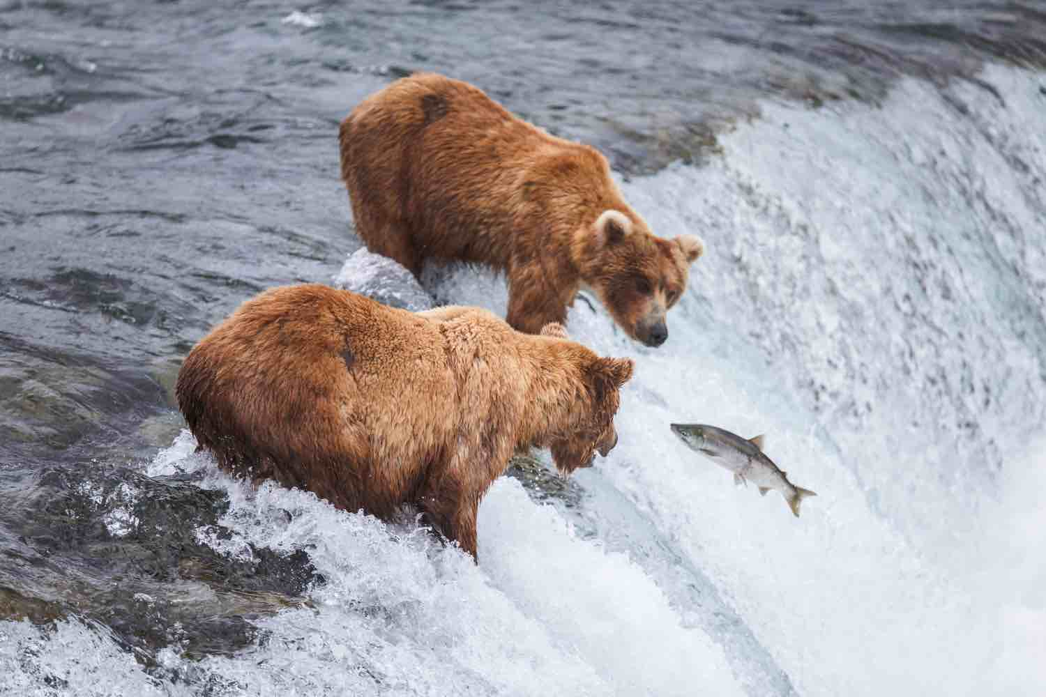 Grizzly bears feeding on salmon in Alaska