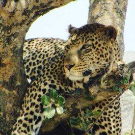 A leopard in Tarangire National Park