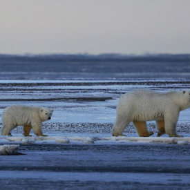 Polar Bears Walking on Ice