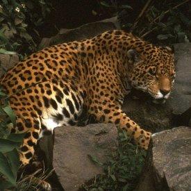 A Jaguar In the Amazon