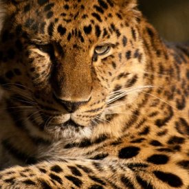 The Elusive Leopard can be Found at Tarangire and Serengeti National Parks
