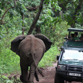 Elephants Sometimes Walk Right by the Vehicles!