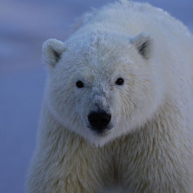 Polar Bear Staring at the Camera