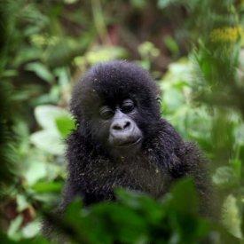 A baby gorilla seen in Volcanoes National Park