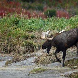 A moose! By Bryan Carnathan 3
