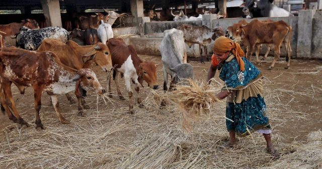 cow-feeding-chhattisgarh