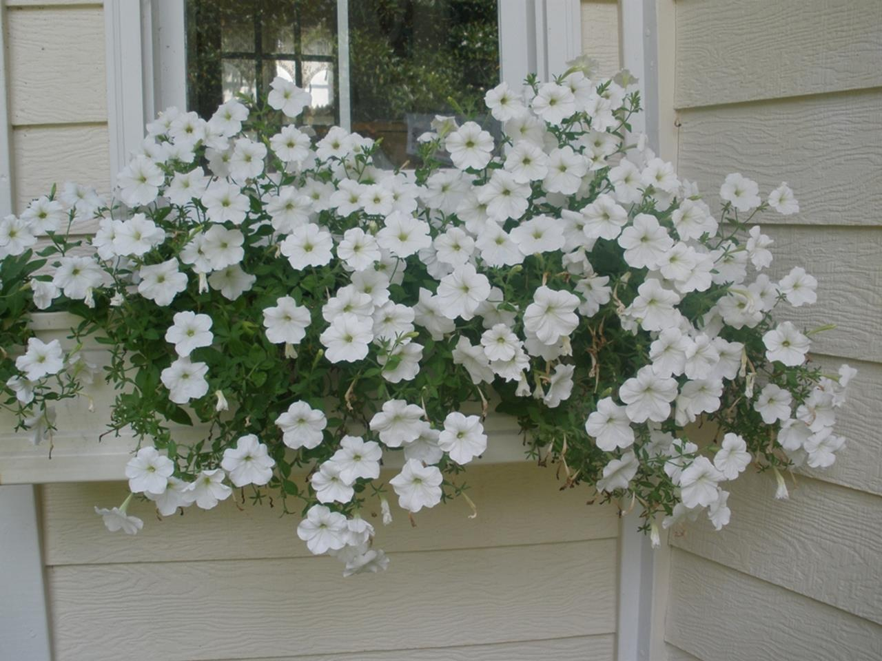 Best Beautiful Cascading Flowers For Window Boxes Ideas 12