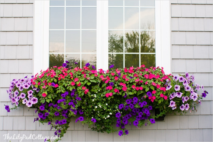 42 Best Flowers for Window Boxes 77 Best Plants for Window Boxes Western Garden Centers 1