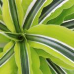 Warneckei (Dracaena plant)