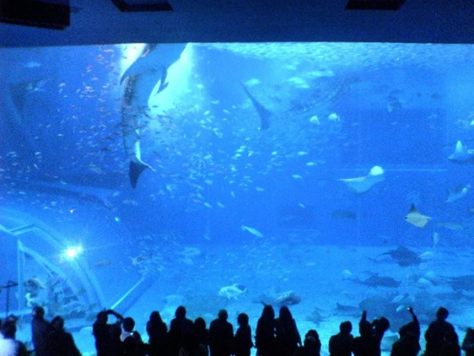 Picture of the whale shark at the Churaumi Aquarium when eating food