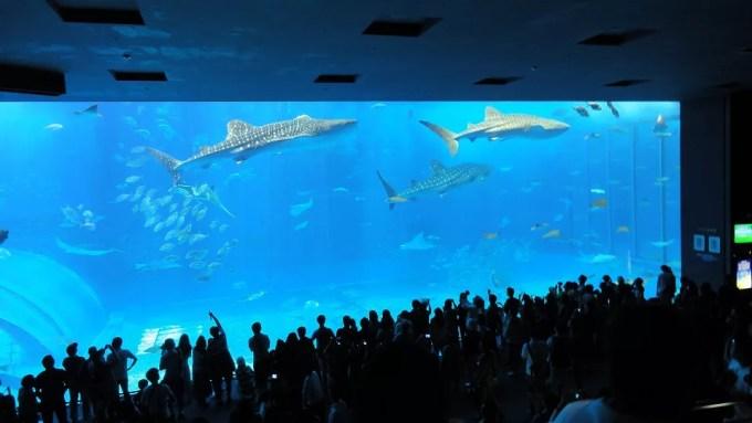 A whale shark and a manta swimming together at the Churaumi Aquarium 2