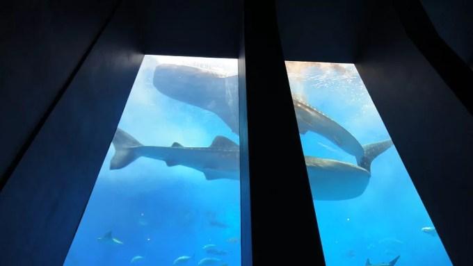 水槽側の席から上を見上げるとジンベエザメが泳いでいる