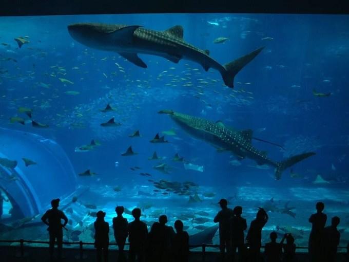 A whale shark and a manta swimming together at the Churaumi Aquarium 3