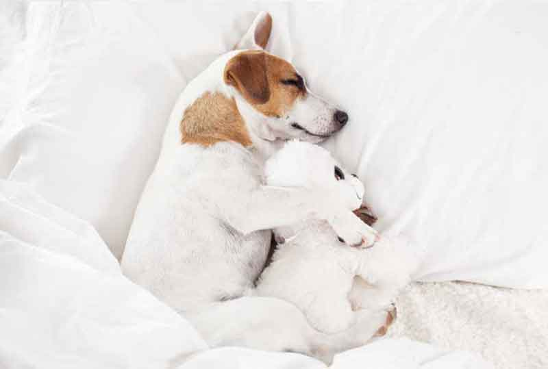Cute Dog Cuddled With Favorite Toy Sleeping