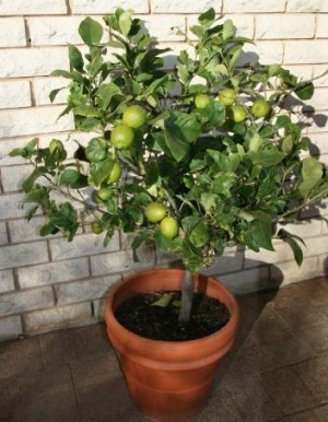 how to grow citrus plants in pots to