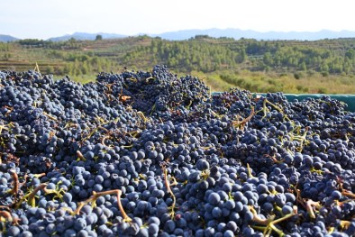 blauwe-druiven