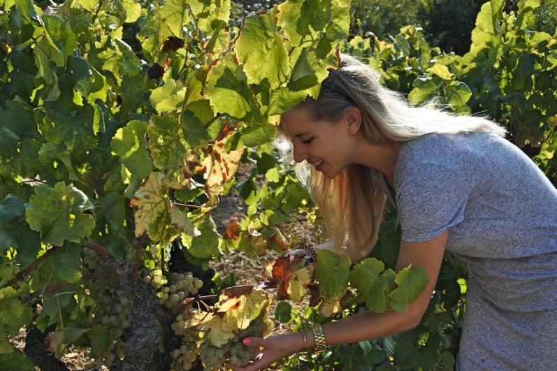 druiven-plukken