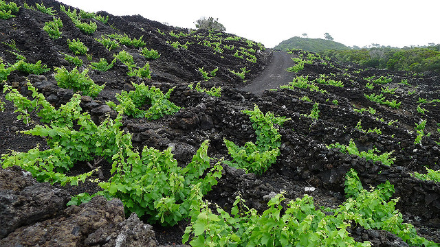 A view of some newly replanted vineyards.