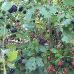 Blackberry Picking Time