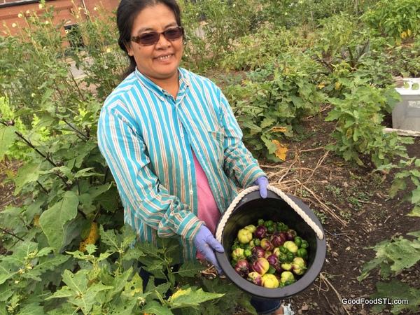 Burmese woman picking bitter eggplant*