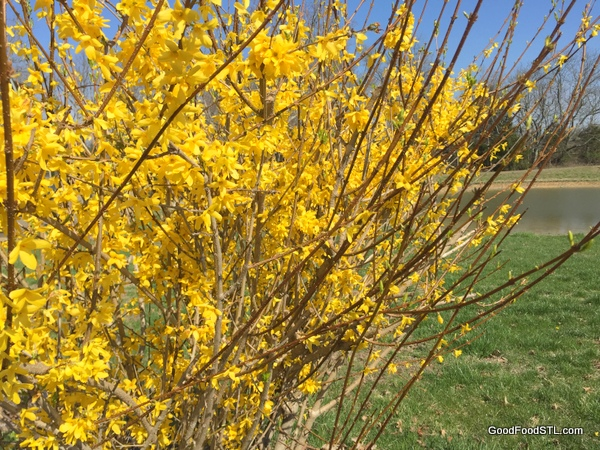 Forsythia in bloom, a springtime treat