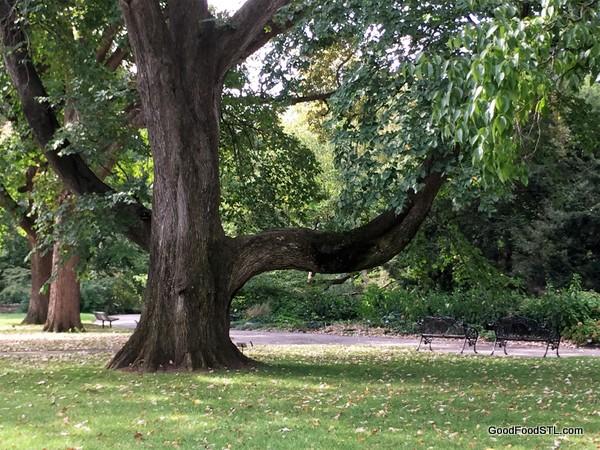 Ikd Scotch Elm at the Missouri Botanical Garden