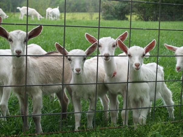 Baetje Farm goats