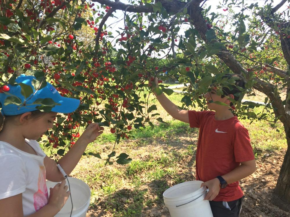 Tart Cherry Picking at Green Barn