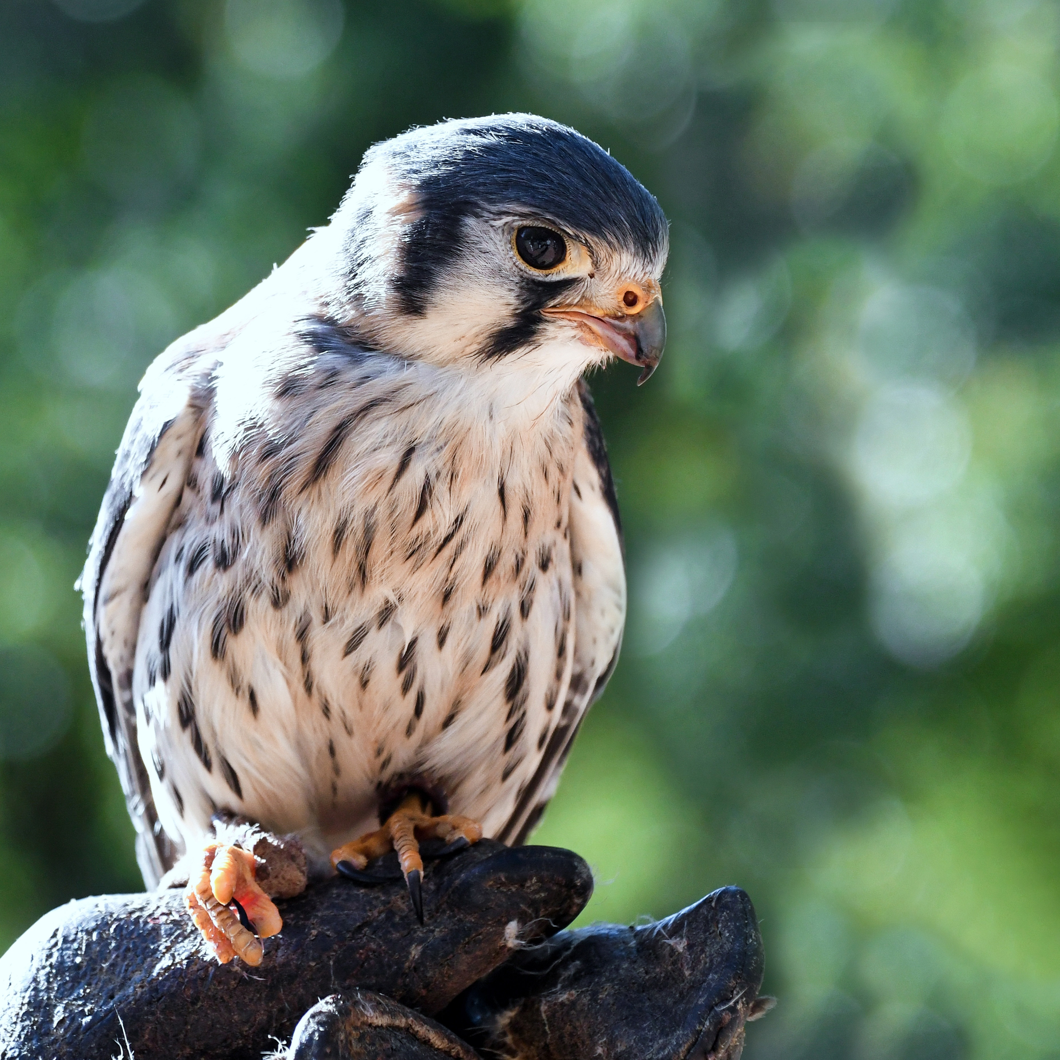 Baby Falcon Perched On Hands Image Free Stock Photo